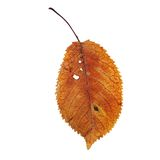 Isolation of a beautiful faded cherry leaf Royalty Free Stock Image