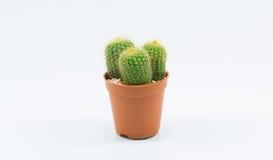 Isolation cactus Stock Images