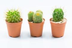 Isolation cactus Royalty Free Stock Images