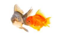 Isolation of goldfish Royalty Free Stock Photos