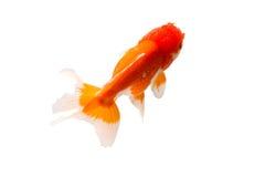 Isolation of goldfish Stock Photos