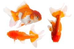 Isolation of goldfish Stock Photography