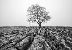 Isolation. The lone tree at Malham Rakes Stock Images
