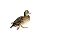 Isolation of mallard walking Royalty Free Stock Photography
