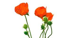 Isolatmohnblume auf einem weißen Hintergrund Stockfotografie