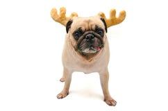 Isolatnärbildframsida av horn på kronhjort för ren för valpmopshund bärande för parti för nytt år för jul Royaltyfri Bild