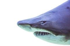 Isolato alto di fine del underwater di carcharias taurus dello squalo tigre della sabbia immagine stock