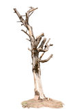 Isolato appassito dell'albero su fondo bianco Immagine Stock