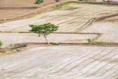 Isolato arido dell'albero sul giacimento del riso Fotografia Stock