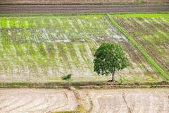 Isolato arido dell'albero sul giacimento del riso Fotografie Stock