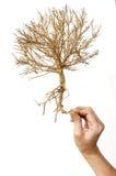 Isolato asciutto dell'albero di manifestazione della mano Immagini Stock Libere da Diritti
