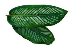 Isolato bianco del fondo della banda del perno di ornata di Calathea delle foglie immagine stock libera da diritti