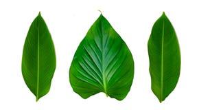 Isolato bianco del fondo della banda del perno di ornata di Calathea delle foglie fotografia stock libera da diritti