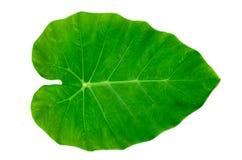 Isolato bianco del fondo della banda del perno di ornata di Calathea delle foglie immagini stock