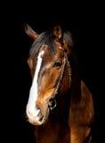 Isolato del cavallo di baia sul nero Fotografia Stock