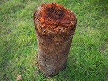 Isolato del ceppo di albero con il fondo dell'erba verde Immagini Stock