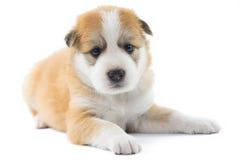 Isolato del cucciolo del cane del ritratto Fotografie Stock Libere da Diritti