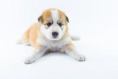 Isolato del cucciolo del cane del ritratto Immagini Stock Libere da Diritti