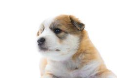 Isolato del cucciolo del cane del ritratto Immagine Stock