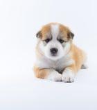 Isolato del cucciolo del cane del ritratto Fotografie Stock