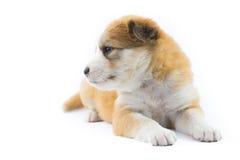 Isolato del cucciolo del cane del ritratto Immagine Stock Libera da Diritti