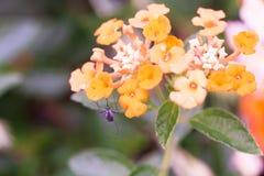 Isolato del fiore di cristata di Celosia su fondo nell'estate di primavera fotografia stock libera da diritti