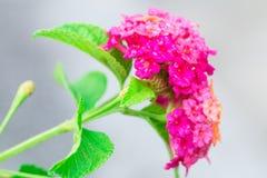 Isolato del fiore di cristata di Celosia su fondo nell'estate di primavera fotografia stock