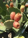 Isolato del fondo della frutta del cactus Fotografie Stock