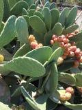 Isolato del fondo della frutta del cactus Fotografia Stock