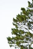 Isolato del pino su bianco Fotografie Stock