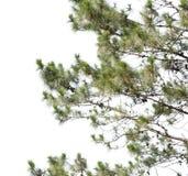 Isolato del pino su bianco Fotografia Stock Libera da Diritti