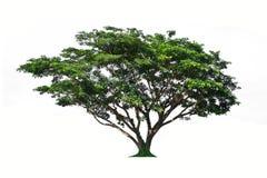 Isolato dell'albero su fondo bianco Immagine Stock