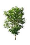 Isolato dell'albero su fondo bianco Fotografia Stock Libera da Diritti