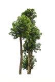 Isolato dell'albero su fondo bianco Immagini Stock