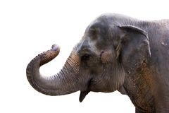 isolato dell'elefante Fotografie Stock