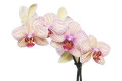 Isolato dell'orchidea Fotografia Stock Libera da Diritti