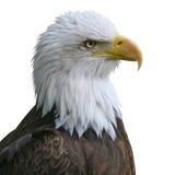 Isolato della testa dell'aquila calva Fotografia Stock Libera da Diritti