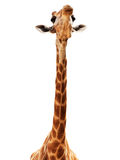 Isolato della testa della giraffa su bianco Fotografie Stock Libere da Diritti