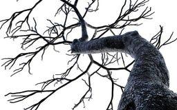 Isolato nudo dei rami di albero su fondo bianco Fotografia Stock Libera da Diritti