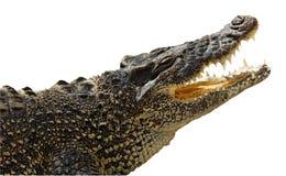Isolato sul coccodrillo bianco Fotografia Stock Libera da Diritti