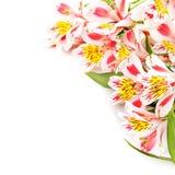 Isolato sul rosa bianco fiorisce il Alstroemeria Fotografie Stock Libere da Diritti