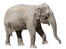 Isolato sull'elefante bianco Fotografia Stock Libera da Diritti