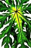 Isolato verde del foglio (foglio della papaia) Fotografia Stock Libera da Diritti