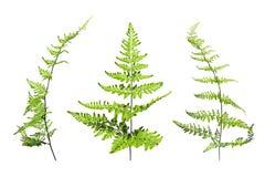 Isolato verde delle foglie della felce su fondo bianco royalty illustrazione gratis