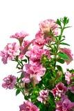 Isolatpetunienblume auf einem weißen Hintergrund Lizenzfreie Stockfotografie