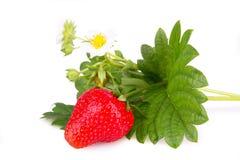 Isolatrd草莓灌木 免版税库存照片