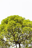 Isolatträd i asia. arkivbilder