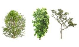 Isolatträd på vit bakgrund Arkivbild