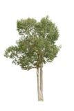 Isolatträd på vit bakgrund Arkivfoto