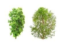 Isolatträd på vit bakgrund Arkivfoton